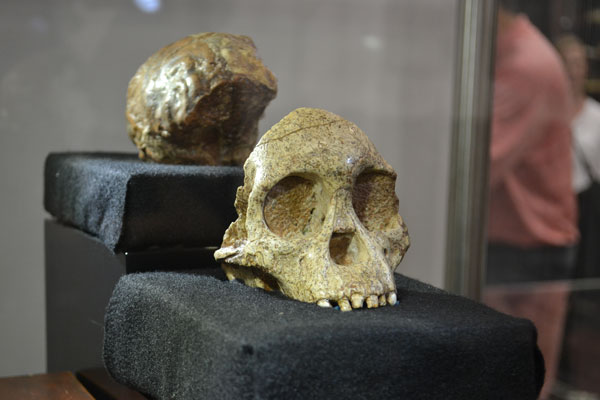 Taung Child, pictured above, which is a fossilised skull of a young Australopithecus africanus, is also housed in the vault at Wits University. It was discovered in 1924 by quarrymen working for the Northern Lime Company in Taung, North-West province.