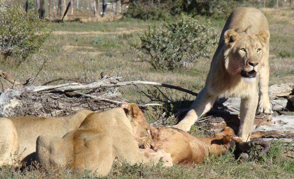 MZNP-lion-wordpress-cropped