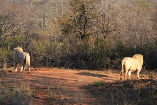 Zukhara and his brother, Matsieng, split up into what Turner calls a pincer formation, a hunting tactic that allows the brothers to envelope their prey, giving it little chance of escaping. The pair pick up the scent of a nearby hunt about a kilometre away.