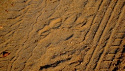 A typical male lion paw print. Male lion paws are larger and its toes more splayed than lionesses. Measurements taken from a lion's paw print can also help Turner guess its age. Such tracks can also help determine the direction the lion is headed.