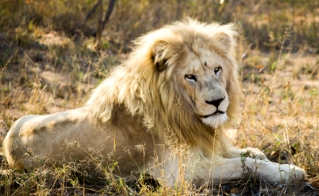 Zukhara is one of just 12 white lions remaining in the wild in South Africa. Policymakers at CITES CoP17 are gathering next week to determine whether or not lions will be moved from the endangered species list to not-under-threat.